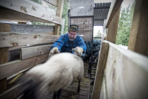 David Astill unloads sheep at the abattoir.
